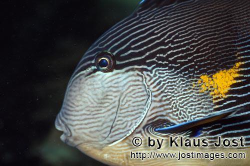 Arabischer Doktorfisch/Arabian tang/Acanthurus sohal        Arabischer Doktorfisch    Arabian tang        Der