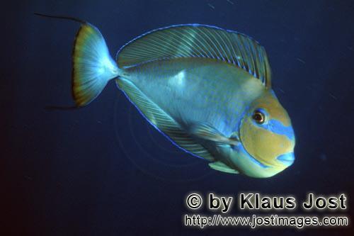 Schwarzdorn-Doktorfisch/Elongate tang/Acanthurus mata        Schwarzdorn-Doktorfisch        Der Schw