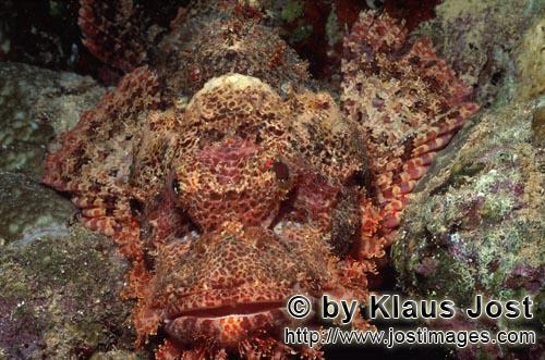 Baertiger Drachenkopf /Bearded Scorpionfish/Scorpaenopsis barbata        Ein Baertiger Drachenkopf wart