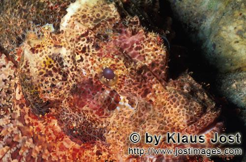 Baertiger Drachenkopf /Bearded Scorpionfish/Scorpaenopsis barbata        Baertiger Drachenkopf seitlich