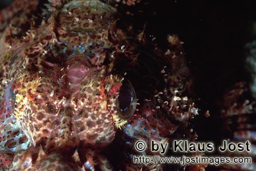 Baertiger Drachenkopf /Bearded Scorpionfish/Scorpaenopsis barbata        Baertiger Drachenkopf Detailau