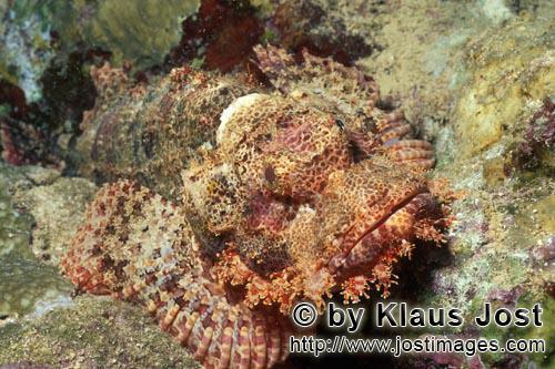 Baertiger Drachenkopf /Bearded Scorpionfish/Scorpaenopsis barbata        Geduldig wartet ein Baertiger