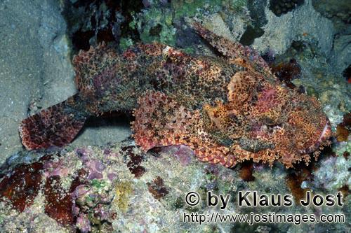 Baertiger Drachenkopf /Bearded Scorpionfish/Scorpaenopsis barbata        Ein Baertiger Drachenkopf im a