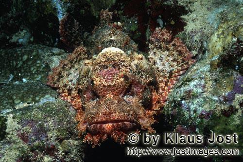 Baertiger Drachenkopf /Bearded Scorpionfish/Scorpaenopsis barbata        Baertiger Drachenkopf im Riff