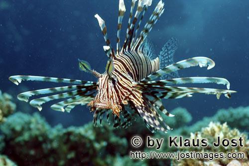 Indischer Rotfeuerfisch/Indian lionfish/Pterois miles        Anschwimmender Indischer Rotfeuerfisch<