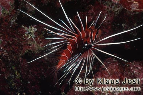 Strahlenfeuerfisch/Clearfin lionfish/Pterois radiata        Strahlenfeuerfisch im Korallenriff