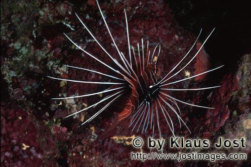 Strahlenfeuerfisch/Clearfin lionfish/Pterois radiata        Eindrucksvoller Strahlenfeuerfisch