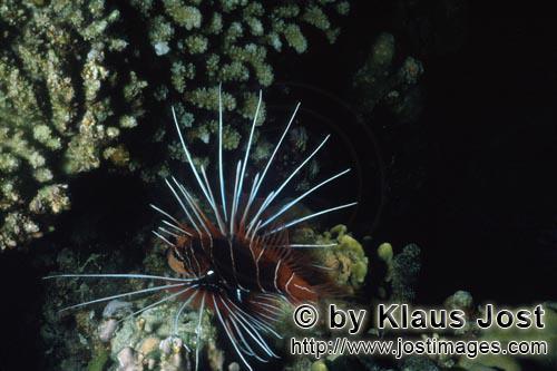 Strahlenfeuerfisch/Clearfin lionfish/Pterois radiata        Eindrucksvoller Strahlenfeuerfisch         Der