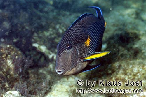 Arabischer Doktorfisch    Arabian tang    Acanthurus sohal        Der dekorative Doktorfisch lebt im Roten