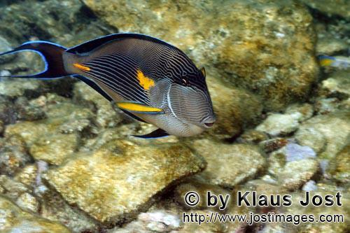 Arabischer Doktorfisch/Arabian tang/Acanthurus sohal        Arabischer Doktorfisch        Der dekora
