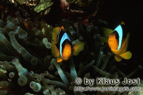 Rotmeer-Anemonenfisch/Red Sea anemonefish/Amphiprion bicinctus        Zwei Rotmeer-Anemonenfische        Di