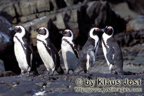 Brillenpinguin/African Penguin/Spheniscus demersus        Brillenpinguin Kolonie        Dyer Isla