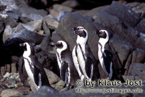 Brillenpinguin/African Penguin/Spheniscus demersus        Brillenpinguine         Auf Dyer Island