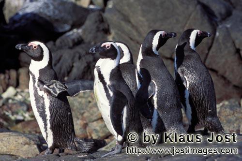 Brillenpinguin/African Penguin/Spheniscus demersus        Brillenpinguin Kolonie         Dyer Isl