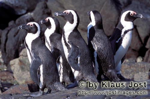 Brillenpinguin/African Penguin/Spheniscus demersus        Brillenpinguin Kolonie        Auf Dyer