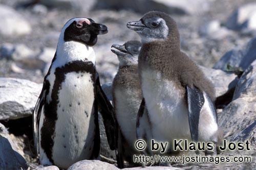 Brillenpinguin/African Penguin/Spheniscus demersus        Brillenpinguin mit Jungtieren        Auf <