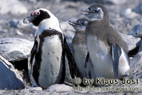 Brillenpinguin/African Penguin/Spheniscus demersus        Brillenpinguinfamilie         Auf Dyer