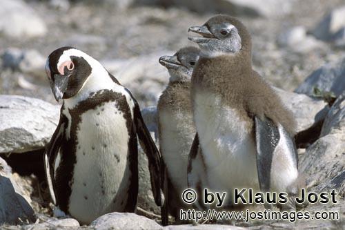 Brillenpinguin/African Penguin/Spheniscus demersus        Brillenpinguin und zwei Jungtiere