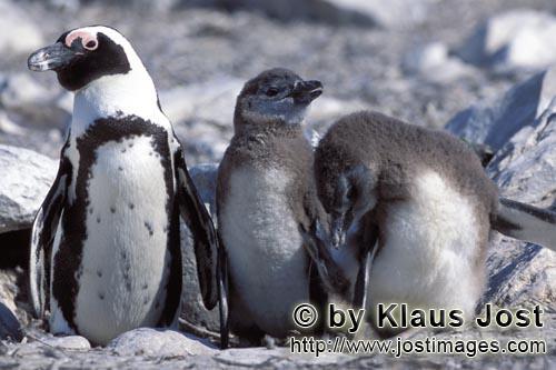 Brillenpinguin/African Penguin/Spheniscus demersus        Brillenpinguin mit zwei jungen Kueken