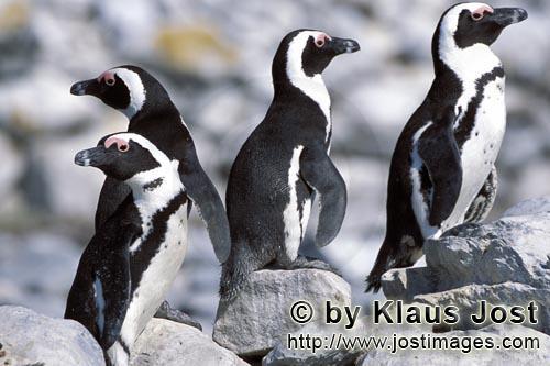 Brillenpinguin/African Penguin/Spheniscus demersus        Brillenpinguine        Dyer Island