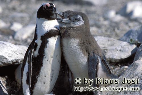 Brillenpinguin/African Penguin/Spheniscus demersus        Brillenpinguin mit Jungtieren         Auf