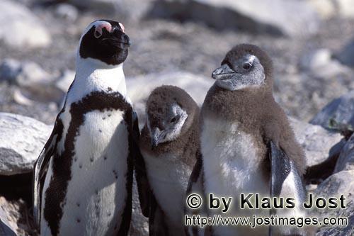 Brillenpinguin/African Penguin/Spheniscus demersus        Erwachsener Brillenpinguin mit zwei Jungti