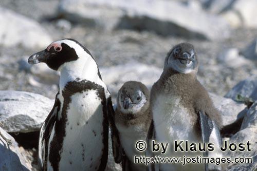 Brillenpinguin/African Penguin/Spheniscus demersus        Brillenpinguin mit zwei Jungtieren