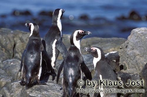 Brillenpinguin/African Penguin/Spheniscus demersus        Brillenpinguingruppe auf felsigem Untergru