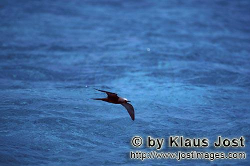 Noddy-Seeschwalbe/Brown Noddy/anous stolidus pileatus        Noddy-Seeschwalbe ueber dem Meer