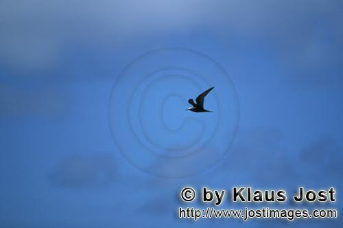 Noddy-Seeschwalbe/Brown Noddy/Anous stolidus pileatus        Fliegende Noddy-Seeschwalbe        Die