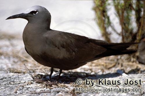 Noddy-Seeschwalbe/Brown Noddy/Anous stolidus pileatus        Noddy-Seeschwalbe am Boden        Die <
