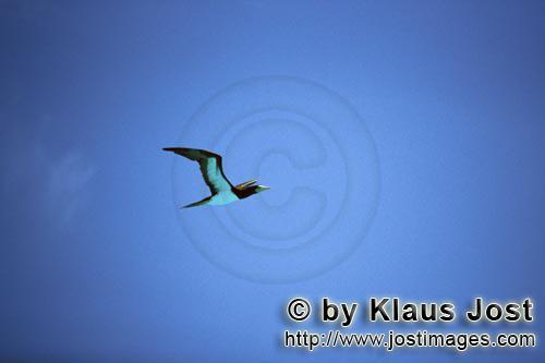 Brauntoelpel-Weißbauchtoelpel/Brown Booby/Sula leucogaster        Fliegender Brauntoelpel        Au