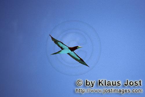 Brauntoelpel-Weißbauchtoelpel/Brown Booby/Sula leucogaster        Brauntoelpel kommt vom Fischen zu