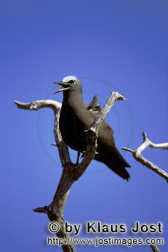 Noddy-Seeschwalbe/Brown Noddy/Anous stolidus pileatus        Noddy-Seeschwalbe auf dem Baum        U