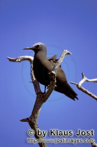 Noddy-Seeschwalbe/Brown Noddy/Anous stolidus pileatus        Noddy-Seeschwalbe auf dem Baum        D