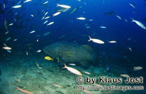 Riesenzackenbarsch/Giant grouper/Epinephelus lanceolatus        Riesenzackenbarsch am Shark Reef
