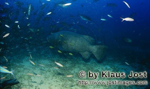 Riesenzackenbarsch/Giant grouper/Epinephelus lanceolatus        Riesenzackenbarsch dicht ueber dem M
