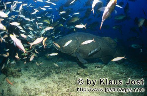Riesenzackenbarsch/Giant grouper/Epinephelus lanceolatus        Riesenzackenbarsch im Fischschwarm</