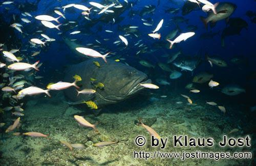 Riesenzackenbarsch/Giant grouper/Epinephelus lanceolatus        Riesenzackenbarsch inmitten eines Fi