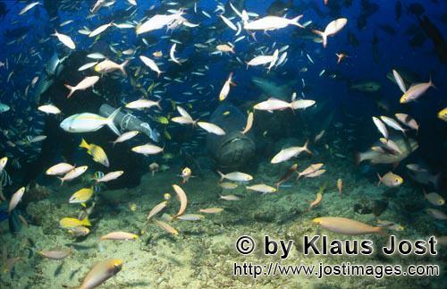 Riesenzackenbarsch/Giant grouper/Epinephelus lanceolatus        Riesenzackenbarsch, Taucher und Fisc