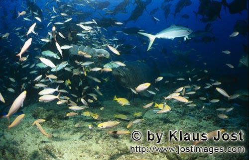 Riesenzackenbarsch/Giant grouper/Epinephelus lanceolatus        Riesenzackenbarsch naehert sich Tauc