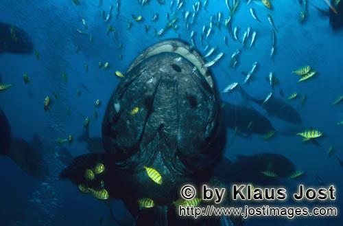 Riesenzackenbarsch/Giant grouper/Epinephelus lanceolatus        Riesenzackenbarsch und juvenile Schw