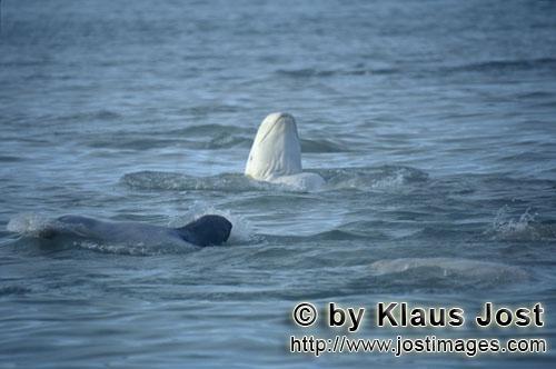 Beluga/Beluga whale/Delphinapterus leucas        Beluga schaut aus dem Wasser        Am Cunnigham In