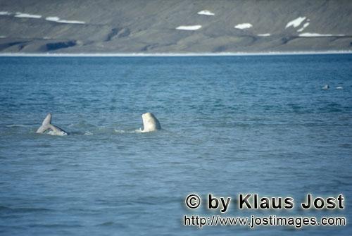 Beluga/Beluga whale/Delphinapterus leucas        Beluga an der Meeresoberfläche        Am Cunnigham