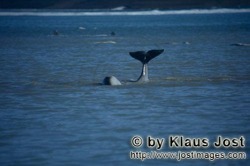 Beluga/Beluga whale/Delphinapterus leucas        Beluga mit eindrucksvoller Schwanzflosse        Am