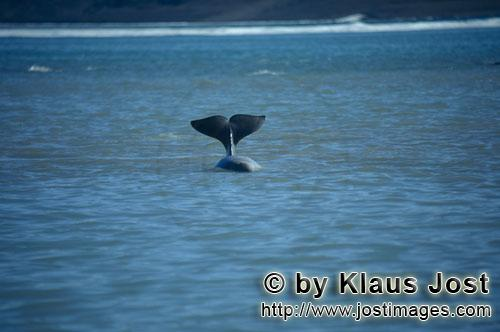 Beluga/Beluga whale/Delphinapterus leucas        Markante Beluga Schwanzflosse        Am Cunnigham I