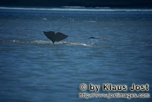 Beluga/Beluga whale/Delphinapterus leucas        Beluga taucht ab        Am Cunnigham Inlet auf Some