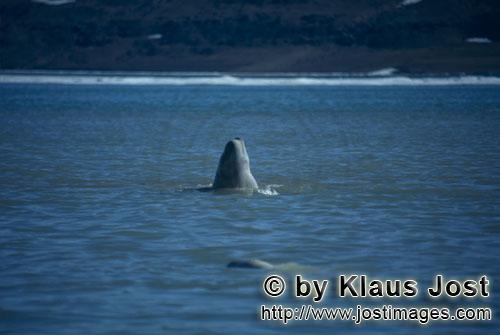 Beluga/Beluga whale/Delphinapterus leucas        Beluga durchbricht die Wasseroberfläche        Am