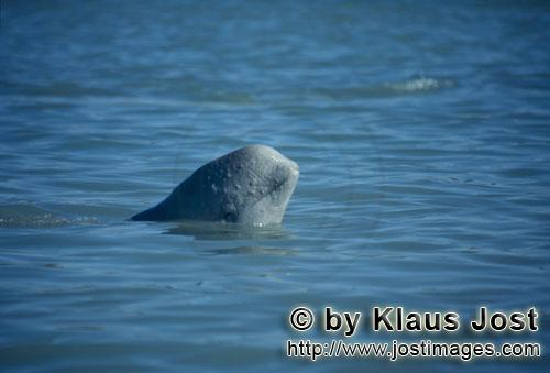 Beluga/Beluga whale/Delphinapterus leucas        Junger Beluga schaut aus dem Wasser        Am Cunni