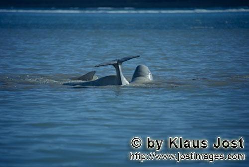 Beluga/Beluga whale/Delphinapterus leucas        Belugas im arktischen Meer        Am Cunnigham Inle